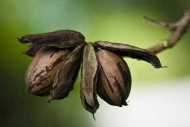 Ask Ruth: Caring for Nut Trees