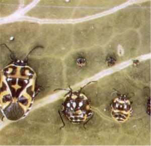 harlequinbugs1
