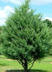 Eastern Red Cedar Tree, Photo from NC State