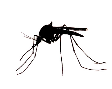 mosquito sihlouette
