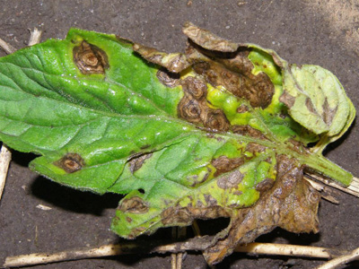 Ask Ruth: Preventing Tomato Blight and Resistant Varieties