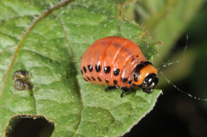 Colorado Potato Beetle Larva, c/o Purdue Extension.