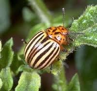 Colorado Potato Beetle c/oUniversity of Kentucky Extension.