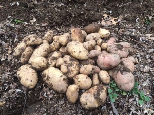 Newly harvested potato crop.