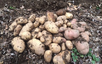 Ask Ruth: Growing Potatoes Organically