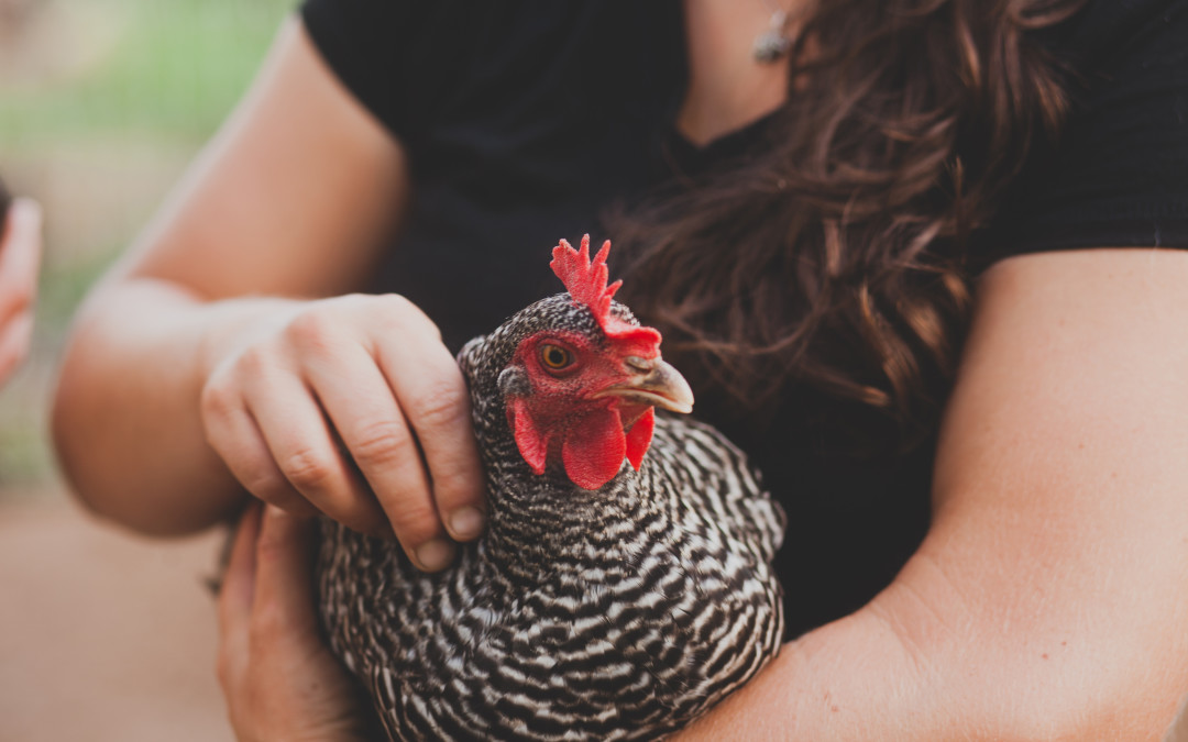 Ask Lee: 7 Humane Options For Spent Layer Hens