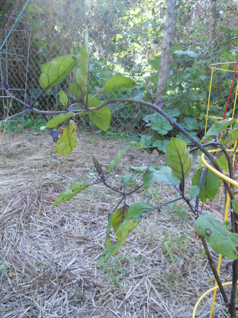 garden with chain link fence