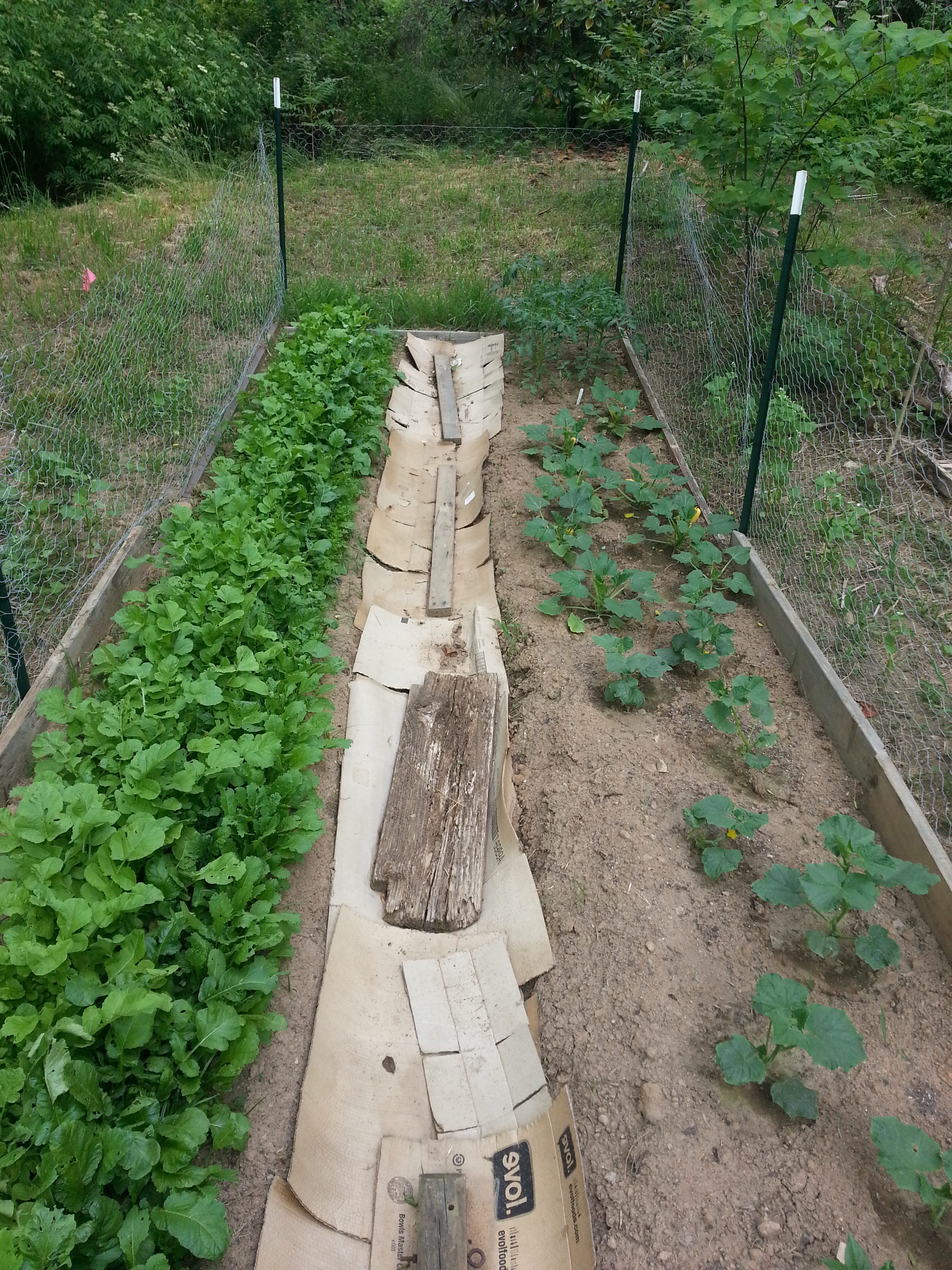 Shaded greens and beans with sheet mulch in progress - Alex