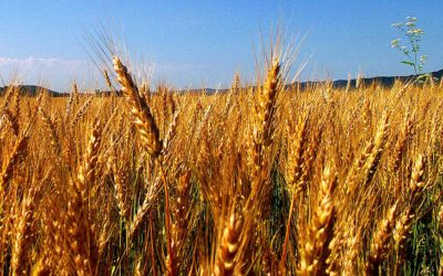 For Amber Waves of Grain — Sustainability in Community