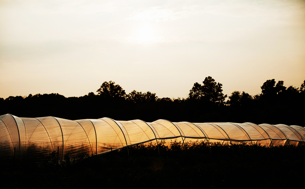 A covered hoop house, backlit and glowing from the evening light, sits in a grassy field in front of backdrop of trees at Bluebird Farm in Morganton, NC.