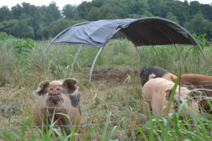 Pregnant sows in the pasture, and shade structure