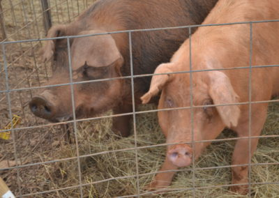 Boar on the left, and sow waiting to be bred.