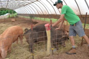 William feeding the sows and boar.
