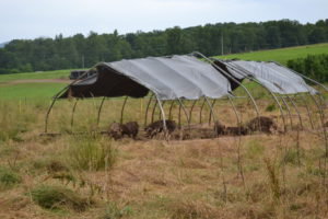 Meat pigs on pasture and shade tents.