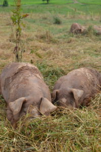 Pigs lazily rooting in the pasture