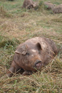 Young pig relaxing in the field