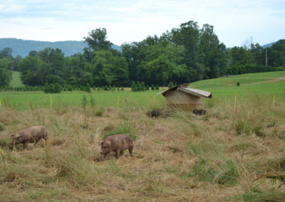 Pigs on pasture and free choice feeder