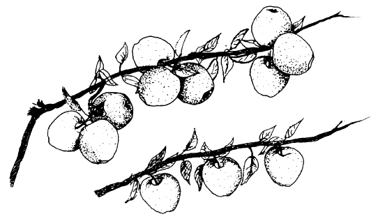 Black and white illustration rendered in pen and ink of two apple branches stacked horizontally. The top illustration shows an unthinned branch (9 apples), and the bottom shows a thinned branch (3 apples).