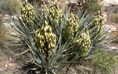 The Many Uses and Benefits of Yucca