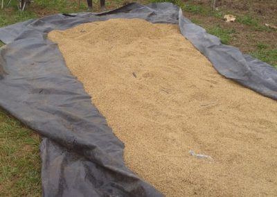 Drying rice in Pinar del Rio