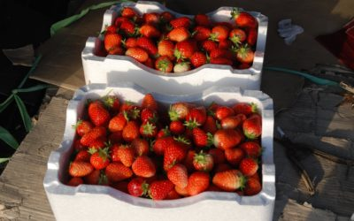 Maximize Your Strawberry Harvest with Greenhouse-Growing