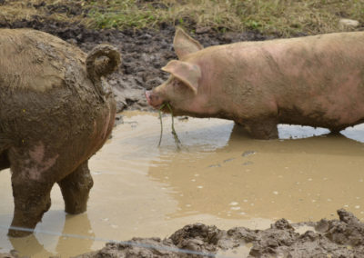 Pigs in puddles