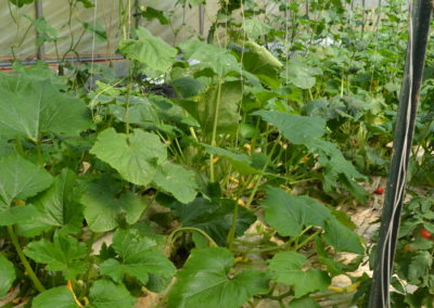 Cucumbers in the greenhouse