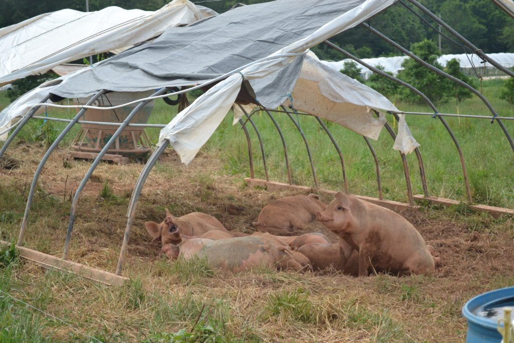 Pigs under a shelter and cooling off in a muddy wallow