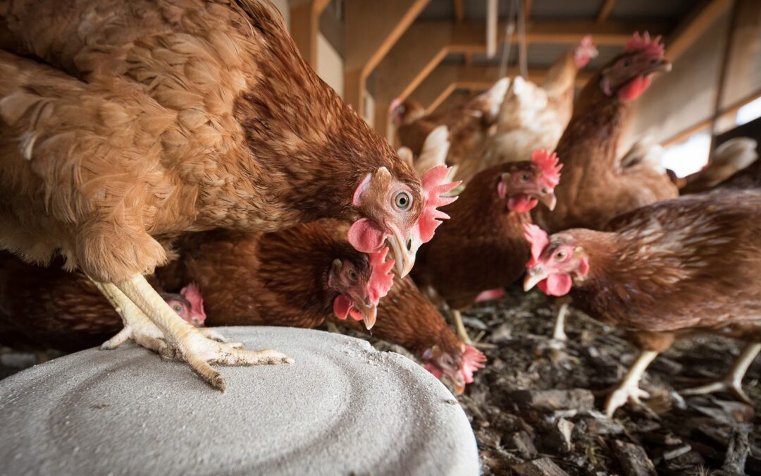 Magical Manure: Using a Fungi Filter to Compost Chicken Manure